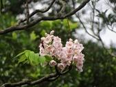 百年鐘萼木   :DSC01829            蜜蜂 (Copy).jpg