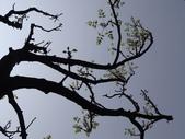 百年鐘萼木   :DSC09249 (Copy).jpg