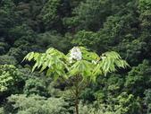 百年鐘萼木   :DSC06414.JPG