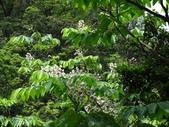 百年鐘萼木   :DSC03566 (Copy).jpg