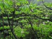 百年鐘萼木   :DSC00097 (Copy).jpg