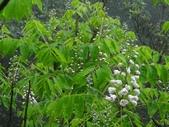 百年鐘萼木   :DSC00062 (Copy).jpg