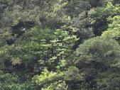 百年鐘萼木   :DSC08699.JPG