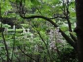 百年鐘萼木   :DSC01872 (Copy).jpg