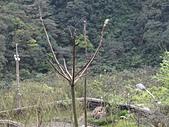 鐘萼木杜鵑花 2014.02.17    阿課達人攝:DSC06036.JPG