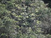 百年鐘萼木   :1064372682_l.jpg
