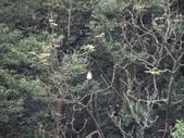 百年鐘萼木   :DSC01209.JPG