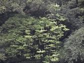 百年鐘萼木   :DSC08272.JPG