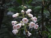 百年鐘萼木   :DSC00027 (Copy).jpg