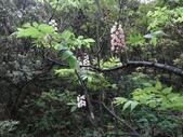 百年鐘萼木   :DSC02012 (Copy).jpg