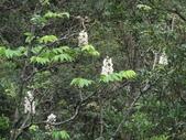 百年鐘萼木   :DSC07770 (Copy).jpg