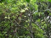 百年鐘萼木   :DSC01582 (Copy).jpg