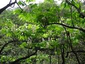 百年鐘萼木   :DSC03525 (Copy).jpg