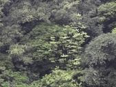 百年鐘萼木   :DSC08268.JPG