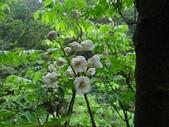 百年鐘萼木   :DSC04474 (Copy).jpg
