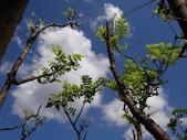 百年鐘萼木   :DSC06519 (Copy).JPG