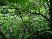 百年鐘萼木   :DSC04482 (Copy).jpg