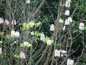 百年鐘萼木   :DSC09716.jpg