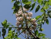 百年鐘萼木   :DSC09712 (Copy).jpg