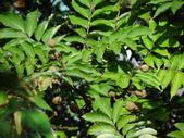 百年鐘萼木   :2.jpg