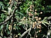百年鐘萼木   :DSC00369.JPG