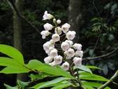 百年鐘萼木   :DSC06536.JPG