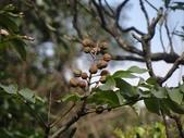 百年鐘萼木   :DSC08685 (Copy).jpg