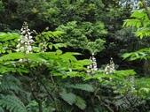 百年鐘萼木   :DSC06570.JPG