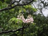 百年鐘萼木   :DSC01691 (Copy).jpg