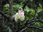 百年鐘萼木   :DSC01703 (Copy).jpg