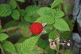 泰安橫龍山橫龍古道:DSC_5768蛇莓.JPG