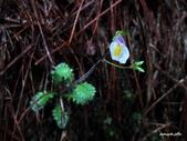 102/05/03~05 雪山主東北稜角植物(四):IMG_8273.jpg