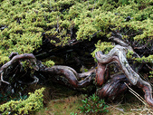 102/05/03~05 雪山主東北稜角植物(四):DSC_2784.JPG