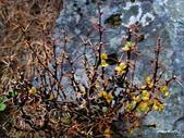 102/05/03~05 雪山主東北稜角植物(四):DSC_2786.JPG