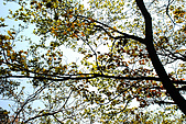 泰安橫龍山橫龍古道:DSC_5653青楓(楓樹科槭屬).jpg