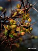 102/05/03~05 雪山主東北稜角植物(四):DSC_2787.JPG