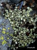 102/05/03~05 雪山主東北稜角植物(四):DSC_2921.JPG
