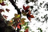 泰安橫龍山橫龍古道:DSC_5730楓香(金縷梅科楓香屬).jpg