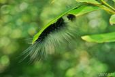 蛾類幼蟲:巨網苔蛾幼蟲
