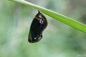 蛺蝶蛹(二):斑蝶蛹被寄生