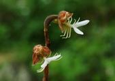 陽明山的野生蘭:金線蓮開花