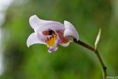 陽明山的野生蘭:臺灣白及
