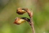 陽明山的野生蘭:金線蓮花苞