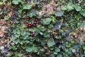 陽明山的蕨類(ㄧ):團扇蕨?