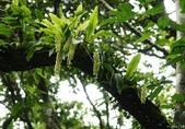 陽明山的野生蘭:扁球羊耳蒜