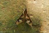 2013陽明山的蛾類:雙斑白肩天蛾