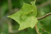 蛾類幼蟲:犁紋黃夜蛾-幼蟲