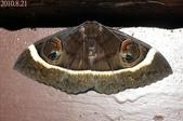 2010陽明山的蛾類:玉線目裳蛾