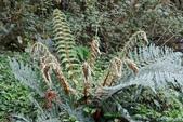 陽明山的蕨類(ㄧ):尖葉耳蕨