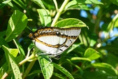 雙尾蝶:雙尾蝶